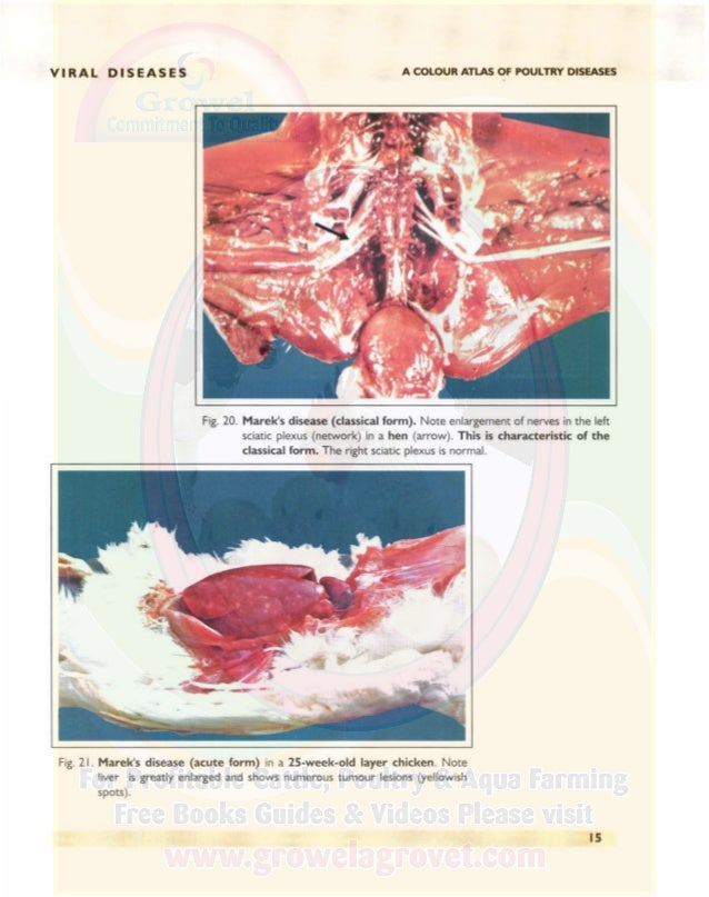 VIRAL DISEASES A COLOUR ATLAS OF POULTRY DISEASES Fig. 22. Marek's disease (acute form) from the same 25-week-old layer ch...