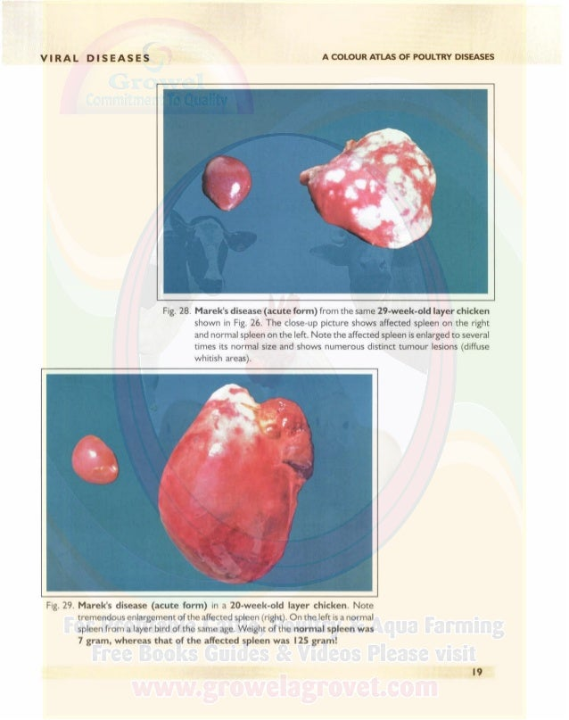 VIRAL DISEASES A COLOUR ATLAS OF POULTRY DISEASES Fig. 30. Marek's disease (acute form)The big affected spleen on the righ...