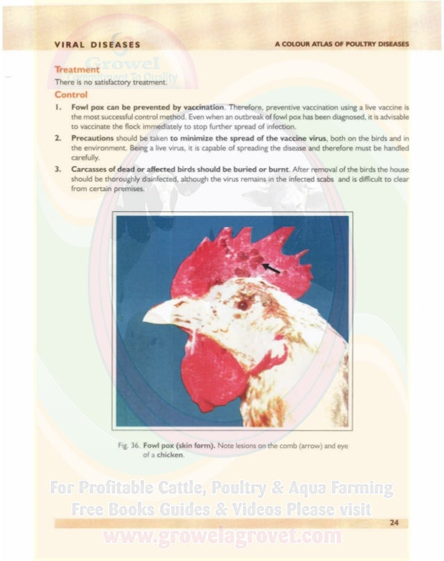 VIRAL DISEASES A COLOUR ATLAS OF POULTRY DISEASES Fig. 37. Fowl pox (skin form). Note lesions on the comb of a chicken (ar...