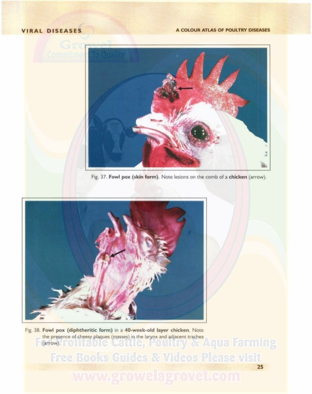 A COLOUR ATLAS OF POULTRY DISEASES VIRAL DISEASES Fig. 39. Fowl pox (diphtheritic form) in another 40-week-old layer chick...