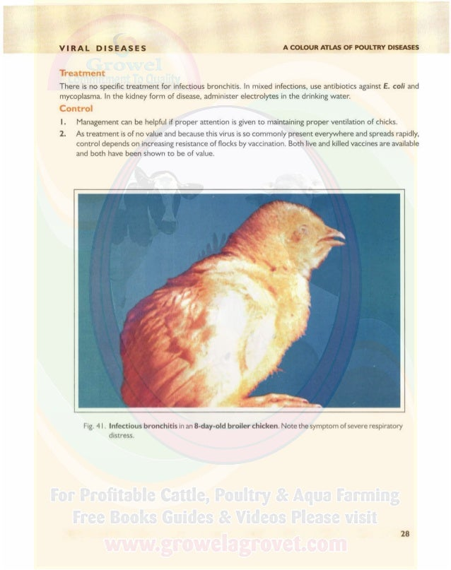 VIRAL DISEASES Fig. 43. Infectious bronchitis. Note shell-less eggs. A COLOUR ATLAS OF POULTRY DISEASES Fig. 42. Infectiou...