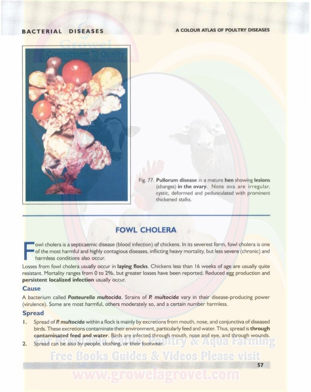 BACTERIAL DISEASES A COLOUR ATLAS OF POULTRY DISEASES 3. Spread through the air does occur between pens. However, spread t...