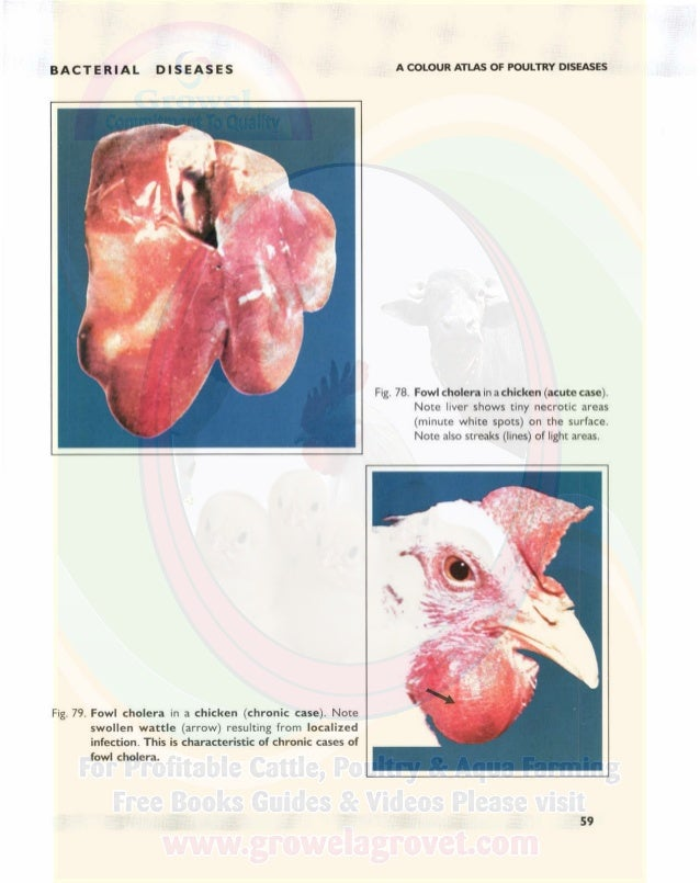 BACTERIAL DISEASES A COLOUR ATLAS OF POULTRY DISEASES STAPHYlOCOCCOSIS S taphylococcosis is caused by the bacterium Staphy...