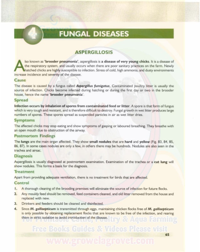 FUNGAL DISEASES A COLOUR ATLAS OF POULTRY DISEASES Fig. 83. Aspergillosis in a 42-day-old cockerel. Note lungs show the pr...