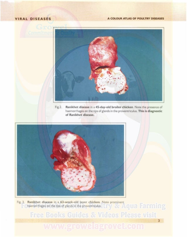 VIRAL DISEASES A COLOUR ATLAS OF POULTRY DISEASES Fig. 4. Highly powerful (virulent) form of Ranikhet disease (intestinal ...