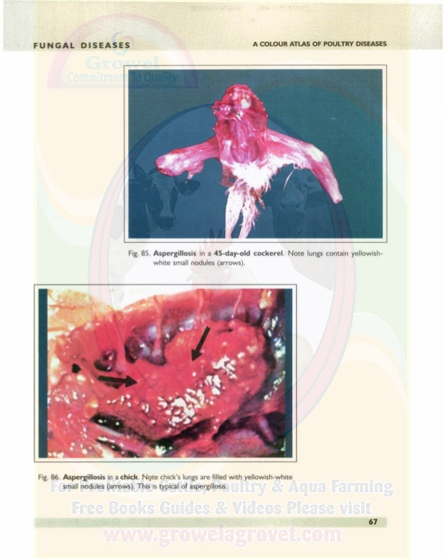 FUNGAL DISEASES A COLOUR ATLAS OF POULTRY DISEASES Fig. 87. Aspergillosis in a chick-showing severe lung infection. Note t...