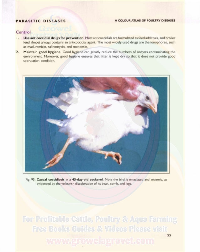 PARASITIC DISEASES A COLOUR ATLAS OF POULTRY DISEASES Fig. 96. Caecal coccidiosis in a 21-day-old broiler chicken caused b...