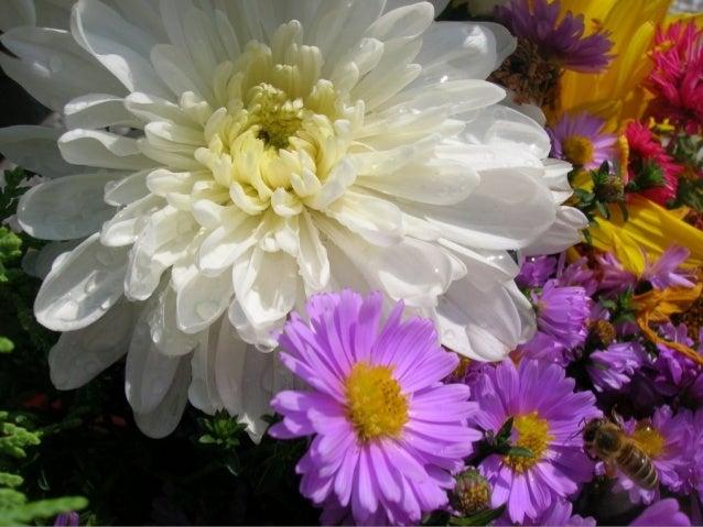 Colourful Chrysanthemums ( Nikos)