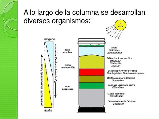 Después de cuatro a seis semanas dela preparación de la columna, seestablecen tres tipos de ambientes: Anaerobio Microae...