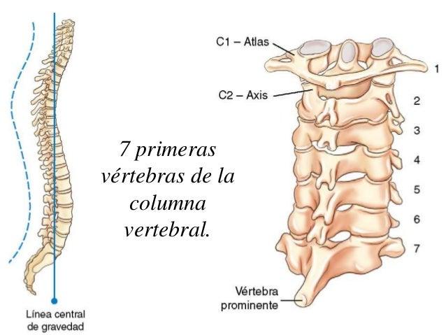 Columnas Vertebrales. Maqueta De Columna Vertebral