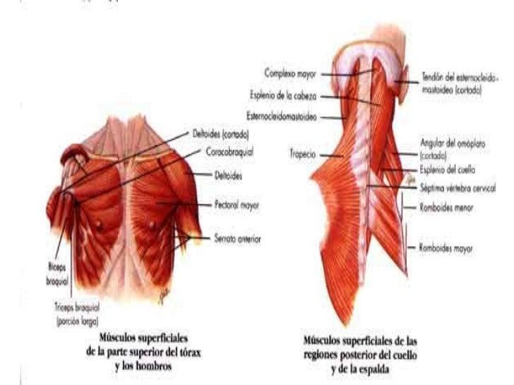 Atractivo Cervical Paravertebral Músculos Anatomía Bandera ...