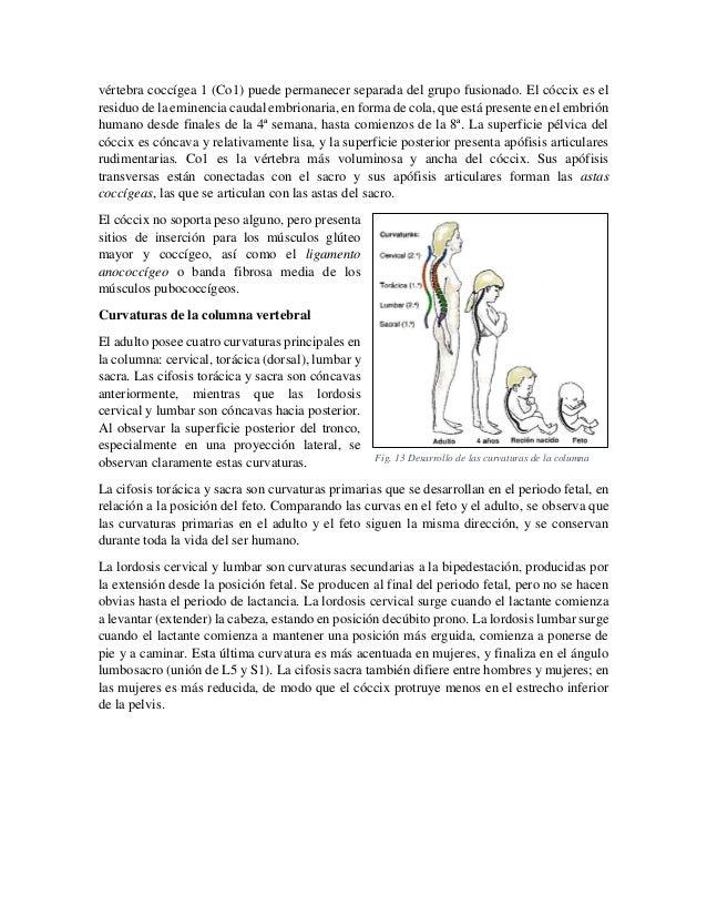 vértebra coccígea 1 (Co1) puede permanecer separada del grupo fusionado. El cóccix es el residuo de la eminencia caudal em...