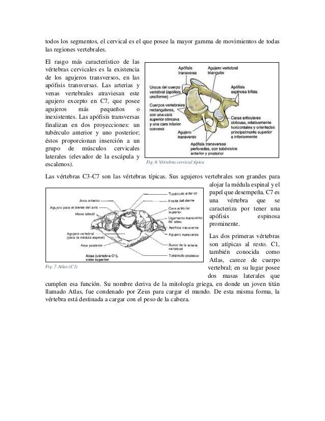 todos los segmentos, el cervical es el que posee la mayor gamma de movimientos de todas las regiones vertebrales. El rasgo...