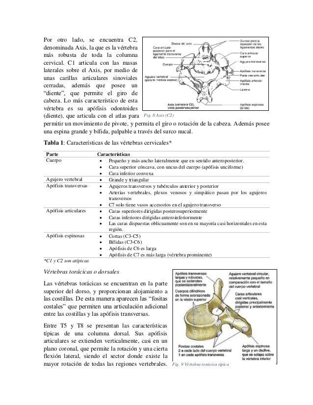 Por otro lado, se encuentra C2, denominada Axis, la que es la vértebra más robusta de toda la columna cervical. C1 articul...