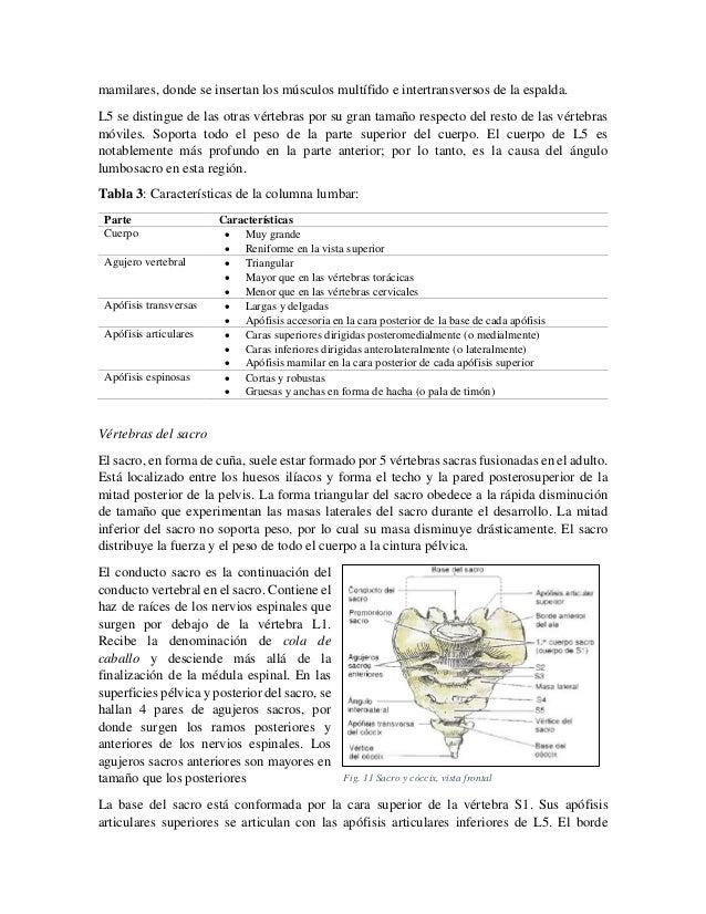 mamilares, donde se insertan los músculos multífido e intertransversos de la espalda. L5 se distingue de las otras vértebr...