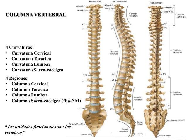 diagrama de espina dorsal columna y dorso  columna y dorso