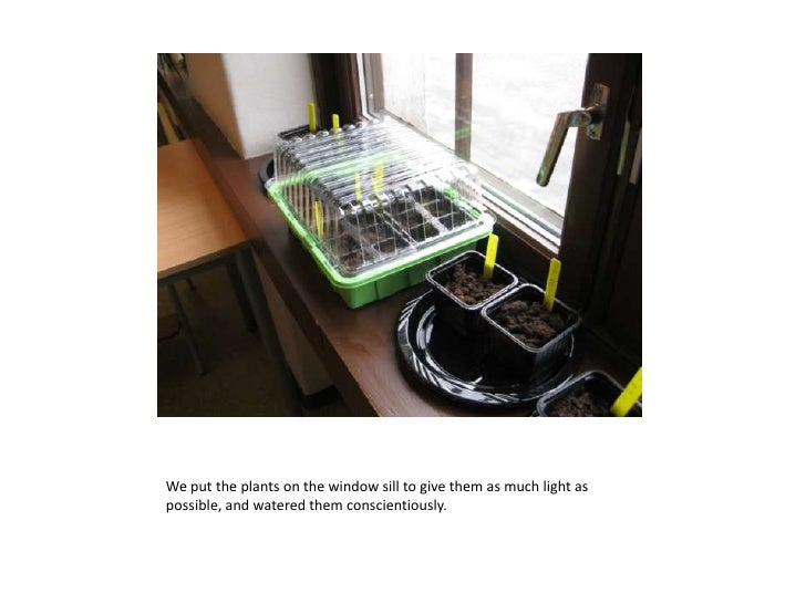 We put the plants on the window sill to give them as much light aspossible, and watered them conscientiously.