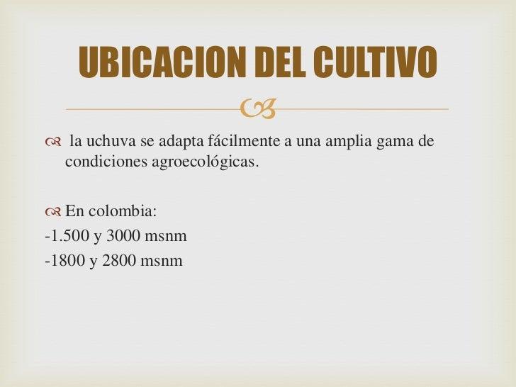UBICACION DEL CULTIVO              la uchuva se adapta fácilmente a una amplia gama de condiciones agroecológicas. En c...