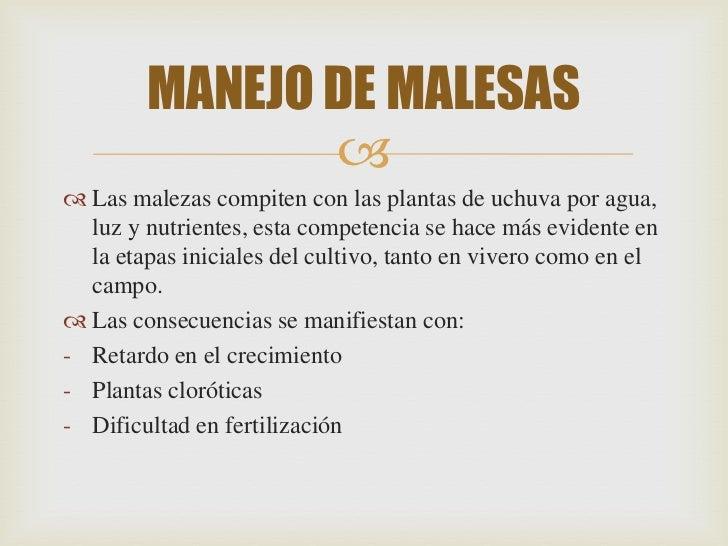 MANEJO DE MALESAS                Las malezas compiten con las plantas de uchuva por agua,  luz y nutrientes, esta compet...