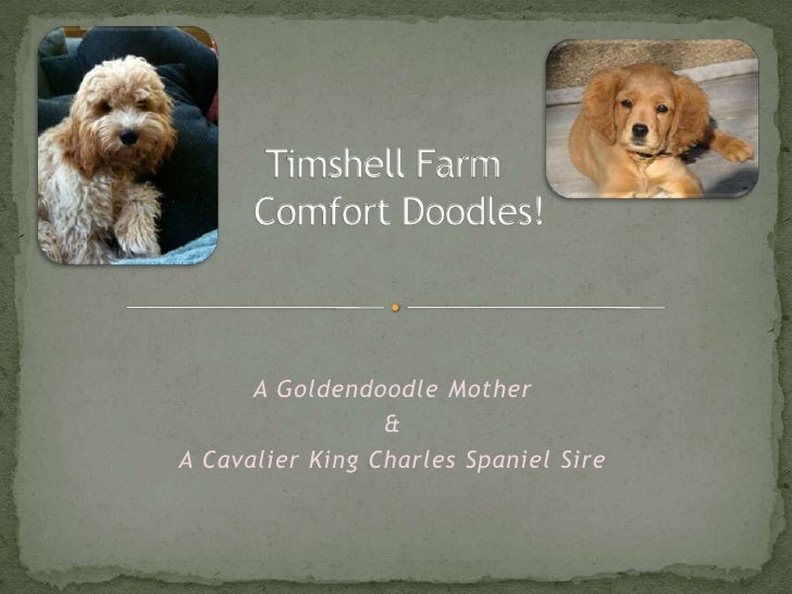 Timshell FarmGolden CavaDoodles<br />A Goldendoodle Mother<br />&<br />A Cavalier King Charles Spaniel Sire<br />