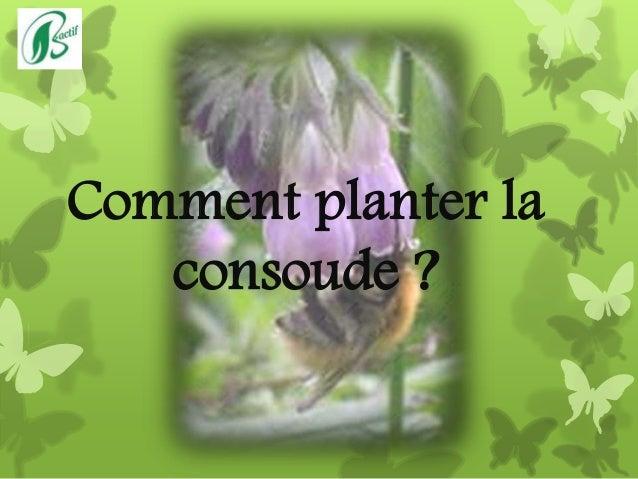Comment planter la consoude ?