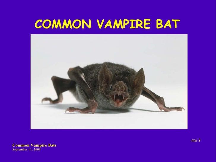 Common Vampire Bats By Thomas