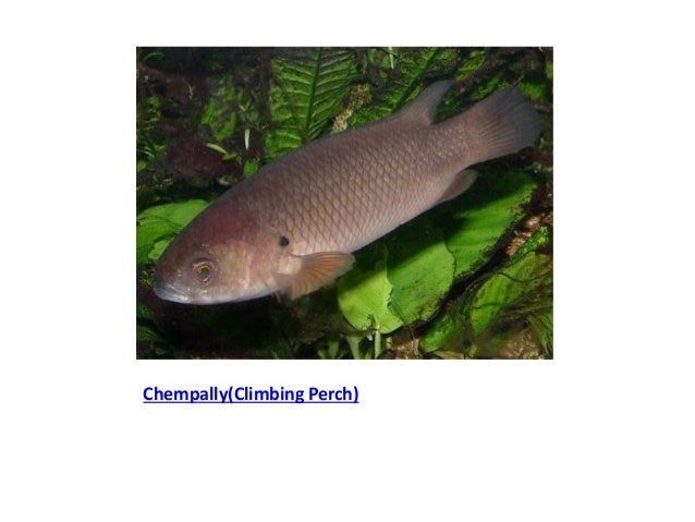 Common Fresh Water Fishes Of Kerala