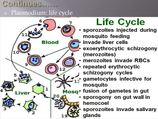  Plasmodium: life cycle  Prevention:  Spraying areas with DDT and other insecticides will kill the mosquito. Introducin...