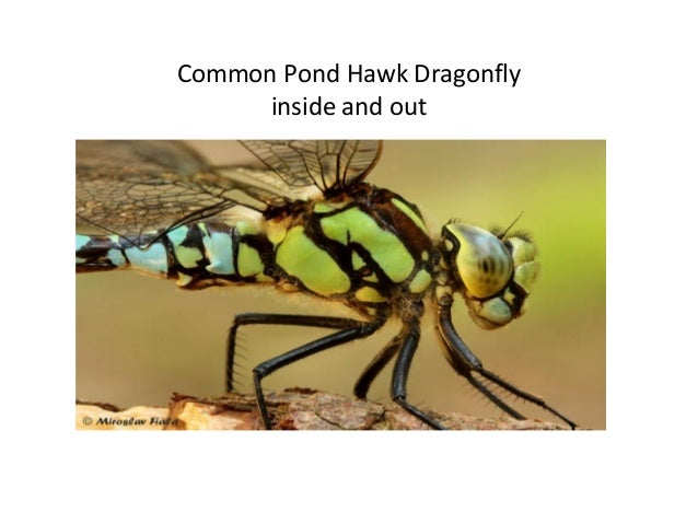 Common Pond Hawk Dragonfly inside and out