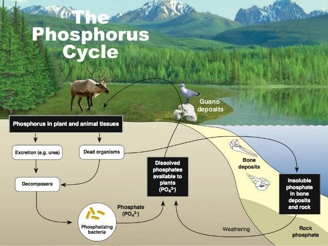 Communities – Phosphorus Cycle Worksheet