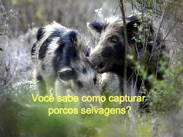 Você sabe como capturar  porcos selvagens?