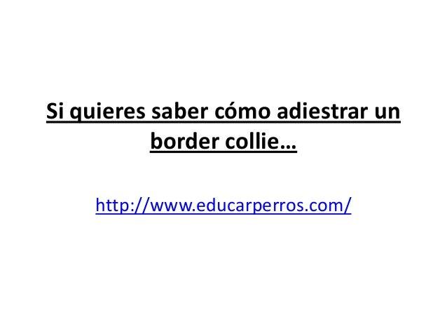 Si quieres saber cómo adiestrar un           border collie…    http://www.educarperros.com/