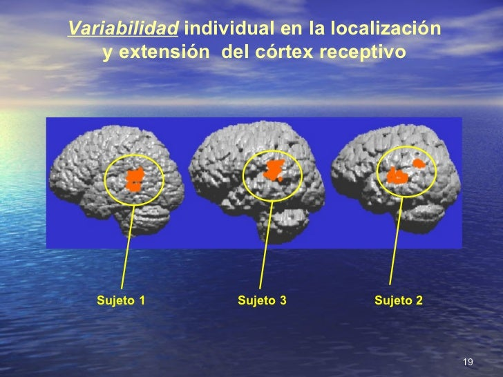 Variabilidad  individual en la localización y extensión  del córtex receptivo Sujeto 1 Sujeto 2 Sujeto 3