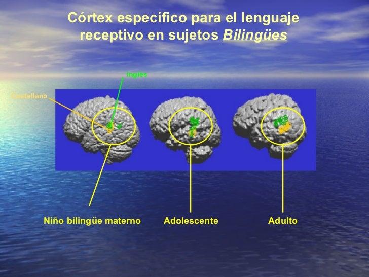 Córtex específico para el lenguaje receptivo en sujetos  Bilingües Niño bilingüe materno Adolescente Adulto Castellano Ing...