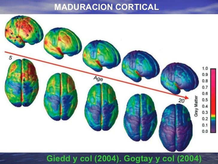 Giedd y col (2004). Gogtay y col (2004) MADURACION CORTICAL