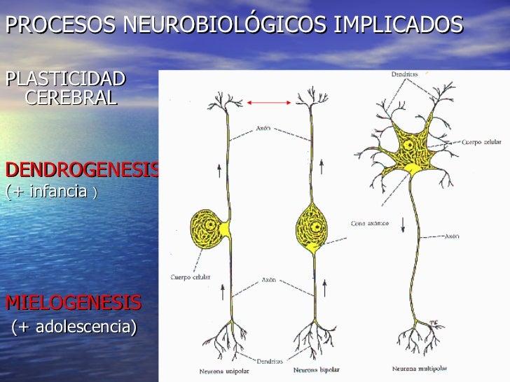 PROCESOS NEUROBIOLÓGICOS IMPLICADOS <ul><li>PLASTICIDAD CEREBRAL </li></ul><ul><li>DENDROGENESIS   </li></ul><ul><li>(+ in...
