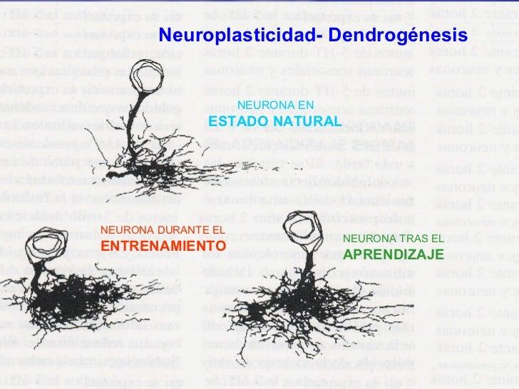Neuroplasticidad- Dendrogénesis NEURONA EN ESTADO NATURAL NEURONA DURANTE EL ENTRENAMIENTO NEURONA TRAS EL APRENDIZAJE