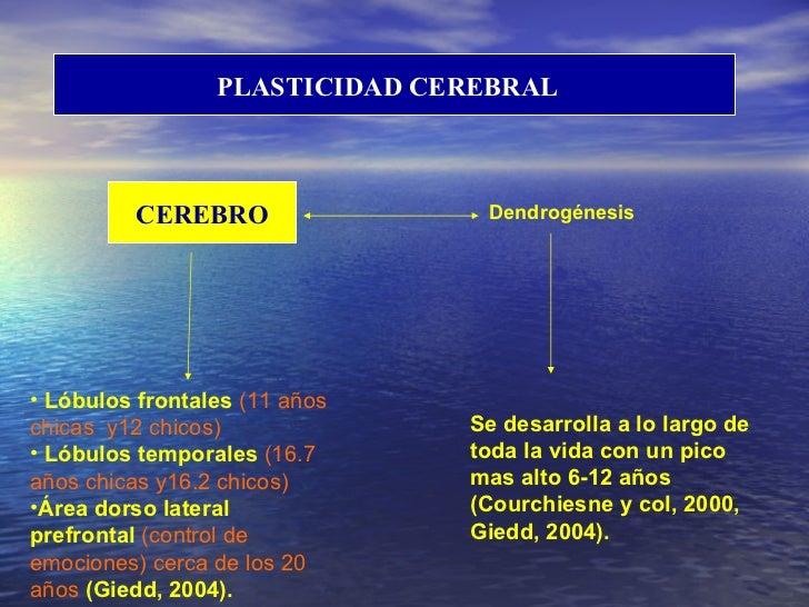 PLASTICIDAD CEREBRAL  CEREBRO Dendrogénesis <ul><li>Lóbulos frontales  (11 años chicas  y12 chicos) </li></ul><ul><li>Lóbu...