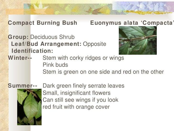 Compact Burning Bush   Euonymus alata 'Compacta'  Group:  Deciduous Shrub  Leaf/Bud Arrangement:  Opposite  Identificat...