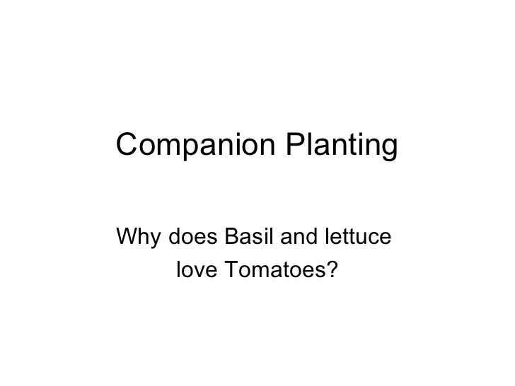 Companion PlantingWhy does Basil and lettuce     love Tomatoes?