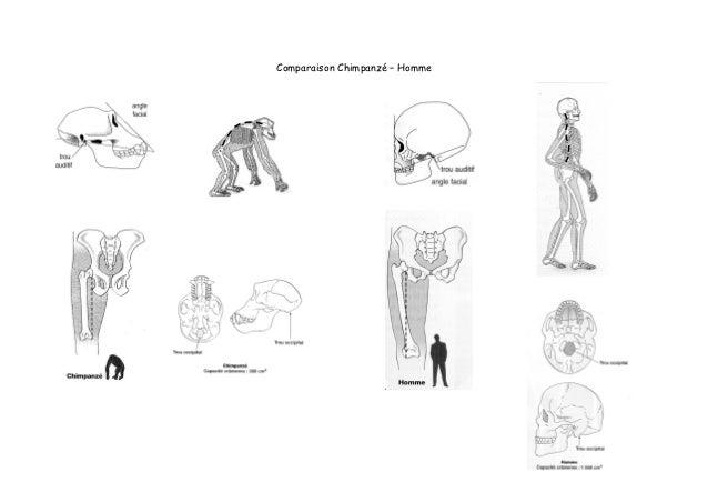 Comparaison Chimpanzé – Homme