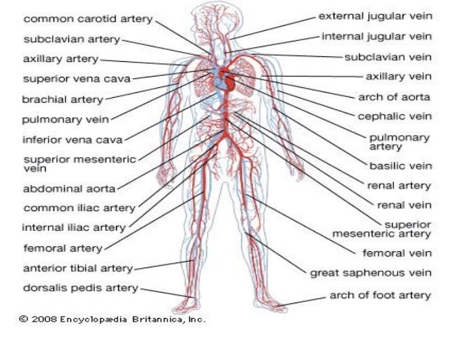 Comparative anatomy circulatory system – Circulatory System Worksheet