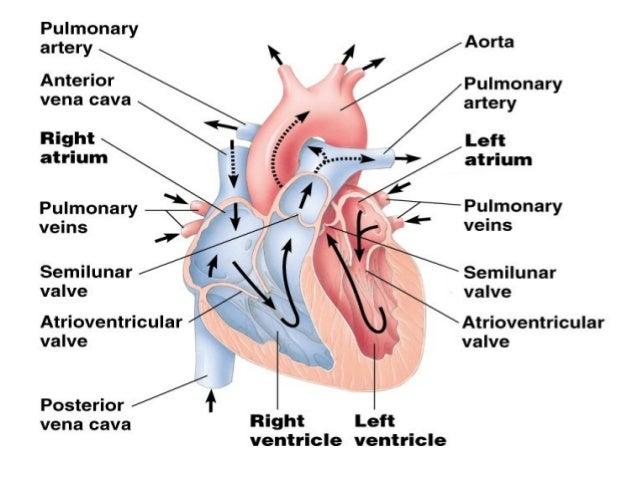 Comparative Anatomy Circulatory System
