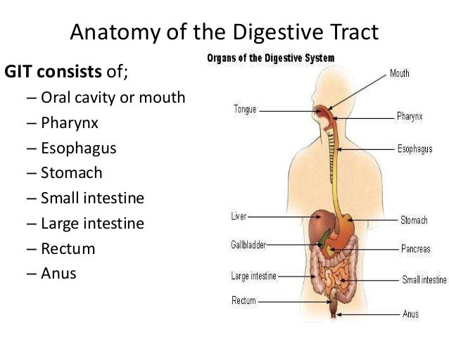 Comparative anatomy digestive system ccuart Gallery