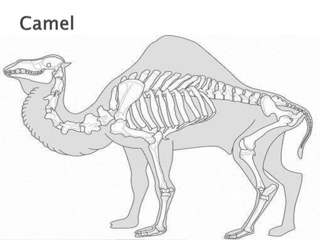 Comparative Anatomy Of Forelimb Of Camel Ox And Horse