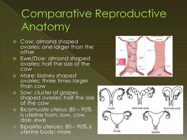 Comparative Reproductive Anatomy