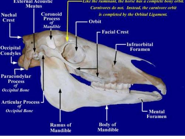 Comparative Study Of Skull Of Camel Ox