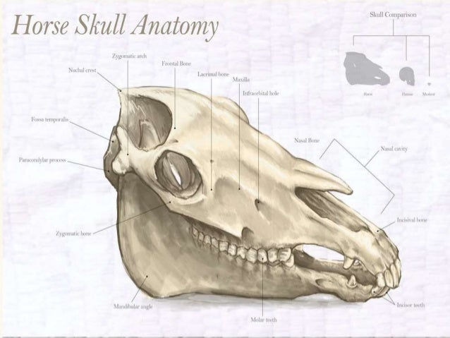 comparative study of skull of camel ox 4 638?cb=1424626101 comparative study of skull of camel, ox