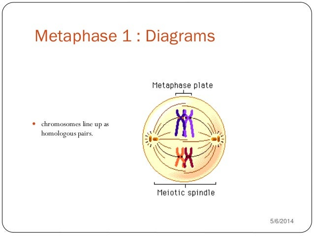 Comparison of mitosis and meiosis