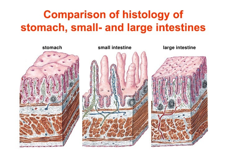 Comparison Of Mucosae Of Stomachsmall And Large Intestines